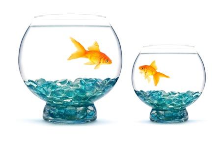 Zlatá rybka v akváriu na bílém pozadí