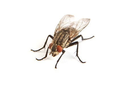 Macro shot of a housefly, Fly isolated on a white background photo