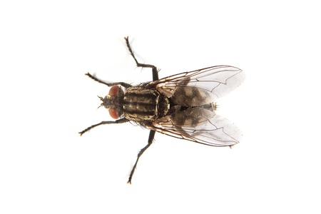 infect: Macro shot of a housefly, Fly isolated on a white background