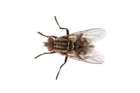 Makro záběr moucha domácí, Fly, izolovaných na bílém pozadí