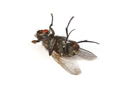 housefly: Macro shot of a dead housefly, Fly isolated on a white background Stock Photo