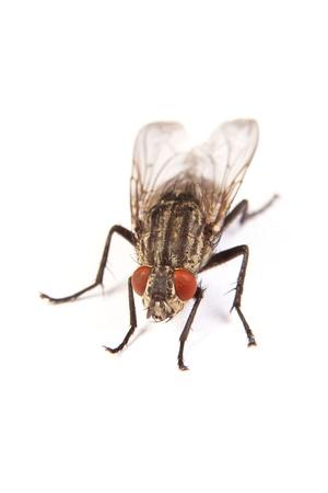 fluga: Makro skott av en husfluga, fluga isolerad på en vit bakgrund Stockfoto