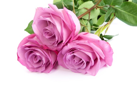 Three fresh pink roses isolated on a white background