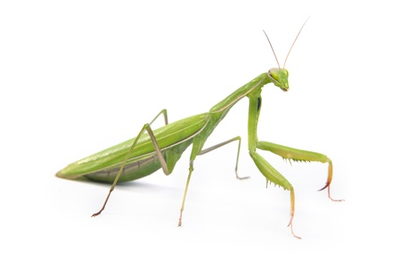mantis: Green mantis isolated on a white background