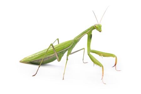 escarabajo: Verde mantis aislado en un fondo blanco