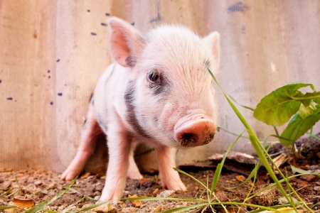 Close-up of a cute muddy piglet running around outdoors on the farm. Ideal image for organic farming Stock Photo - 15441027