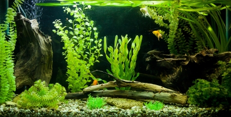 freshwater fish: A green beautiful planted tropical freshwater aquarium Stock Photo