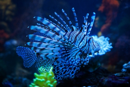 The blue lionfish in the sea aquarium Stock Photo - 15767130
