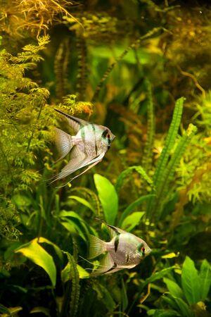 pez pecera: Un verde hermoso acuario plantado de agua dulce tropical con peces Pterophyllum scalare