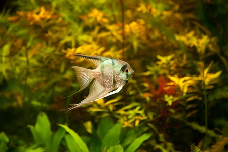 A green beautiful planted tropical freshwater aquarium with fish pterophyllum scalare Stock Photo - 15933360