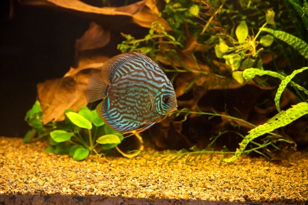 aquarium: A green beautiful planted tropical freshwater aquarium with colorful tropical fish of the Symphysodon discus spieces Stock Photo