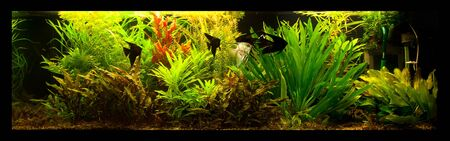 A green beautiful planted tropical freshwater aquarium with fish pterophyllum scalare Stock Photo - 15933486