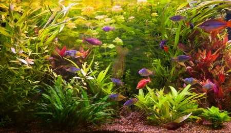 A green beautiful planted tropical freshwater aquarium with fishes Stock Photo - 15933565