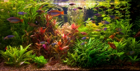 aquarium tank: A green beautiful planted tropical freshwater aquarium with fishes Stock Photo