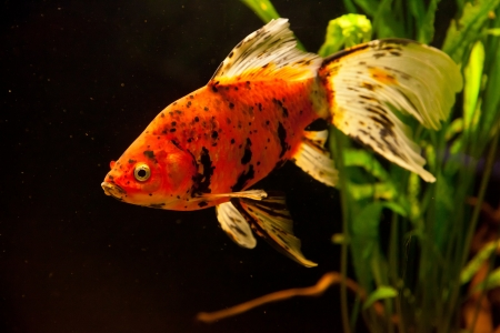 A green beautiful planted tropical freshwater aquarium with goldfish Stock Photo - 15933379