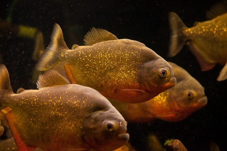 Shoal of tropical piranha fishes in freshwater aquarium Stock Photo - 15933443