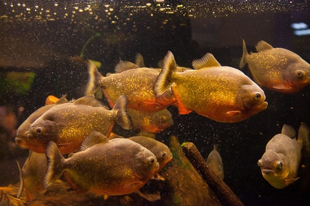 Shoal of tropical piranha fishes in freshwater aquarium Stock Photo - 15933555