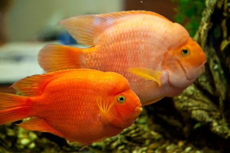 Tropical freshwater aquarium with big red fish Stock Photo - 16099827