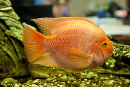 Tropical freshwater aquarium with big red fish Stock Photo - 16099826