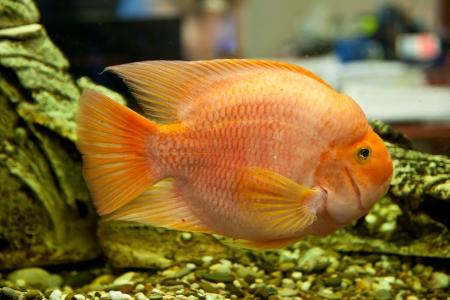 Tropical freshwater aquarium with big red fish Stock Photo - 16099826