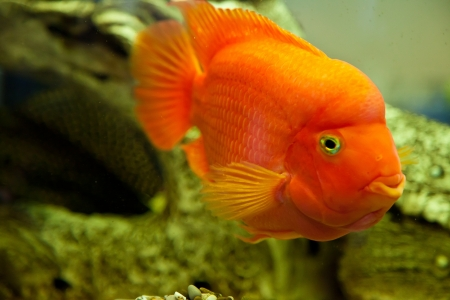Tropical freshwater aquarium with big red fish photo