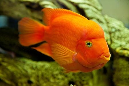 민물의: 큰 빨간 물고기와 열대 민물 수족관