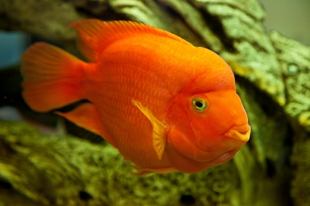 Tropical freshwater aquarium with big red fish Stock Photo - 16099828