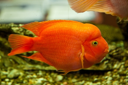 Tropical freshwater aquarium with big red fish Stock Photo - 16099824