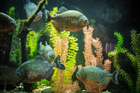 Shoal of tropical piranha fishes in freshwater aquarium photo