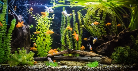 goldfish: A green beautiful planted tropical freshwater aquarium with fishes Stock Photo