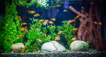 freshwater fish: A green beautiful planted tropical freshwater aquarium with fishes Stock Photo