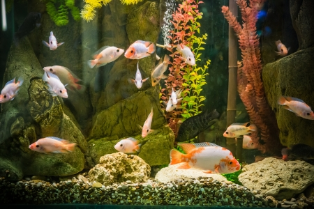 Un beau vert aquarium tropical d'eau douce planté avec des poissons Banque d'images
