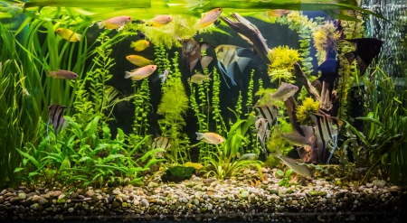 aquarium: A green beautiful planted tropical freshwater aquarium with fishes Stock Photo