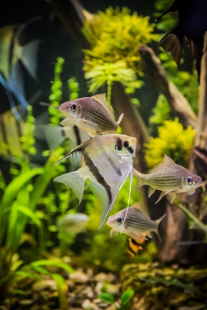 A green beautiful planted tropical freshwater aquarium with fish pterophyllum scalare Stock Photo - 17634695
