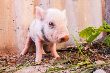 Close-up of a cute muddy piglet running around outdoors on the farm. Ideal image for organic farming Stock Photo - 17634928