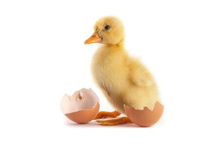 Yellow small duckling with egg isolated on a white background photo