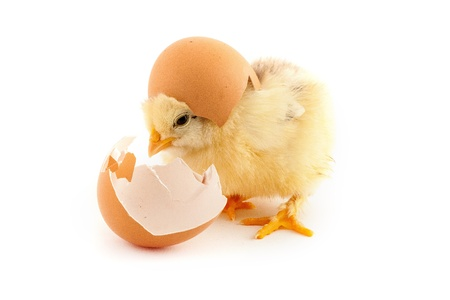 The yellow small chicks with egg isolated on a white background photo