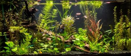 aquarium eau douce: Un beau vert plant� aquarium tropical d'eau douce avec des poissons