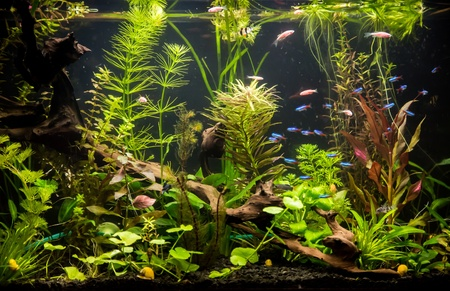 A green beautiful planted tropical freshwater aquarium with fishes Stock Photo - 18795842