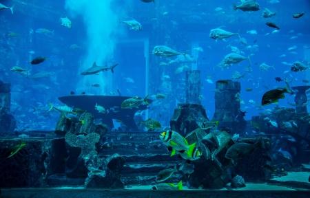 pez pecera: Foto de un pez tropical de un arrecife de coral en el acuario de Dubai. Stingray pescado Foto de archivo