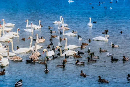 water fowl: A lot of ducks, swans and water fowl in Krakow, Poland