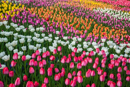 Field of beautiful colorful tulips in a  sunny Holland photo