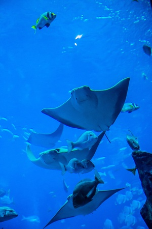 Photo of a tropical fish on a coral reef in Dubai aquarium. Stingray fish photo