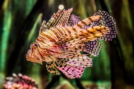 Lionfish in a Dubai aquarium. Pterois mombasae. Petrois Volitans. Lionfish. Turkeyfish. Scorpionfish. Firefish. Stock Photo - 21044034