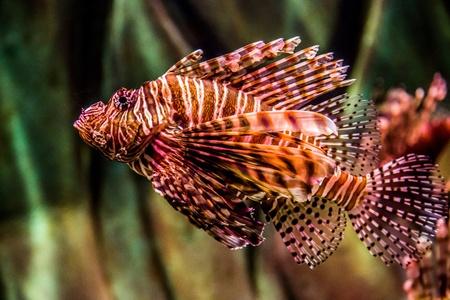 turkeyfish: Lionfish in a Dubai aquarium. Pterois mombasae. Petrois Volitans. Lionfish. Turkeyfish. Scorpionfish. Firefish.