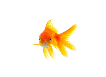 Gold fish isolated on a white background photo
