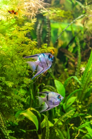A green beautiful planted tropical freshwater aquarium with fish pterophyllum scalare Stock Photo - 22260317