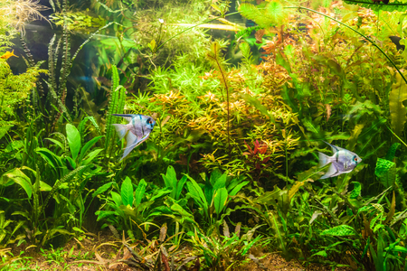 A green beautiful planted tropical freshwater aquarium with fish pterophyllum scalare Stock Photo - 22260318