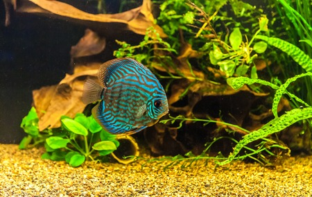 A green beautiful planted tropical freshwater aquarium with colorful tropical fish of the Symphysodon discus spieces Stock Photo - 22260319