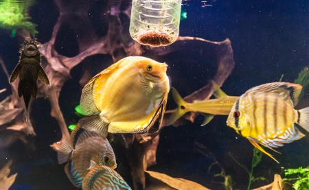 A green beautiful planted tropical freshwater aquarium with colorful tropical fish of the Symphysodon discus spieces Stock Photo - 22260322